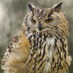 Buffy ( Bengal Eagle Owl)