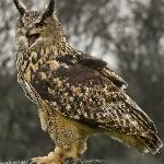 Amber ( European Eagle Owl