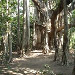 470 year old tree in Royal Retreat
