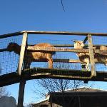 goat crossing!
