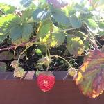 Strawberries growing on the roof top....