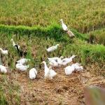 Ducks in Rice Field.