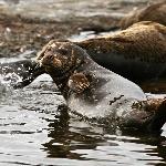 Pacific Harbour Seals