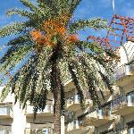 figenpalme - strandområde