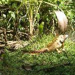 Iguana near park