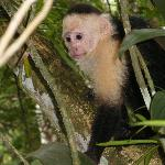 Capuchin at Lodge