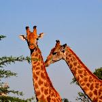 Giraffen im Reservat