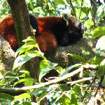 sleeping red panda!