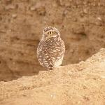 Burrowing owl at ruins