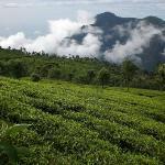 tea hill