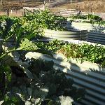 Botanica's vegetable garden