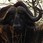 up close and personal with a cape buffalo