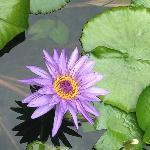 Beautiful Waterlillies
