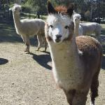 The friendly llamas