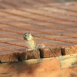 Chipmunk stuffing his face on the boardwalk