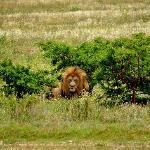 Wild Life - Lions