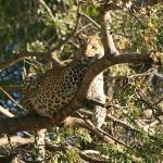Leopard on the Ntwala boat cruise