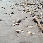 Shell and shark tooth collecting during a stop