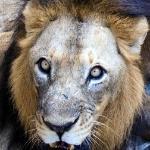 Lion Safari!