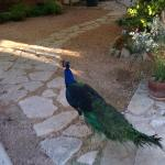 One of the lovely peacocks strolling the grounds near the lodge.