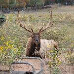 Elk that roam.