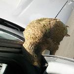 keas like eating cars apparently