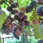 The grapes of the vine, over breakfast.