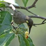 Honeyeater at Daintree Discovery Centre