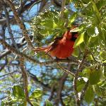 cardinale del nord   maschio