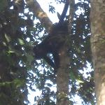 A howler monkey right at the beach!