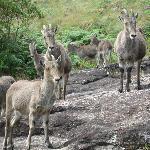 Nilgiri Mountain Goats at Eravikulam National Park