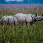The great Indian one horned Rhinos!