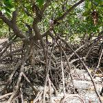 Mangroves at the beach next to the guesthouse