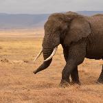 Um enorme elefante passa ao lado de um leão jovem