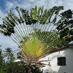 The Fan Palm by the pool