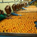 We ship beautiful Indian River Citrus