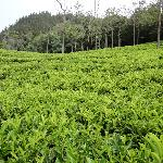 Walk in the tea plantations- must do activity