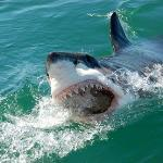 Great White Shark Cage Diving with Seamore-Express Tours and Guesthouse