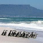 Penguin release on Blouberg Beach
