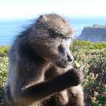 Babbon spotting on our Cape Point Tour