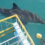 Jaws! Great White Shark Cage Diving Tour