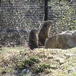 Aufmerksame Murmeltiere nach dem Winterschlaf (5.4.2012)