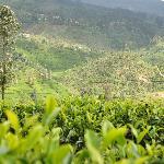 tea plantaions