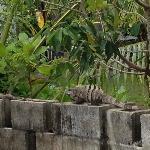 Iguana wall ...