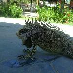 iguanass