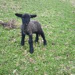 First Lamb this Season