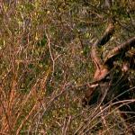 Kudu at Thornybush