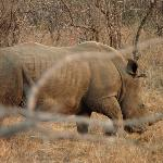 A white rhino, now in critical danger of extinction due to rampant poaching