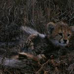 Cubs closeup