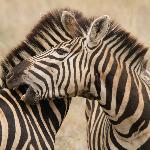 Zebra close to the camp